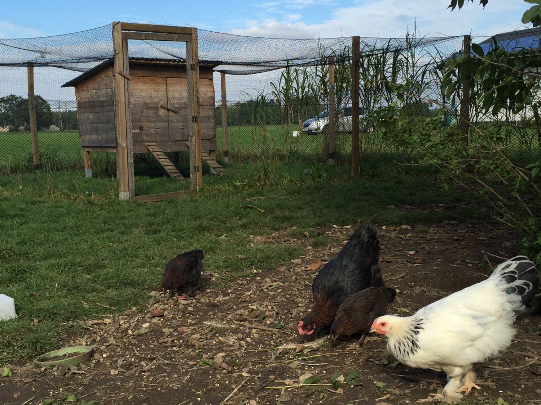 Hühner im Garten Was kostet das eigentlich