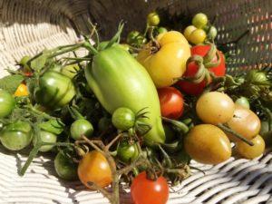 Die Tomaten stammen aus Amerika und sind aus unserer Küche nicht mehr wegzudenken